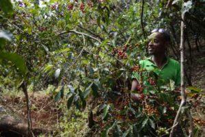 Hamza un des jeunes producteurs de la cooperative de bufeta gibe recoltant a la main les cerises de cafe mures