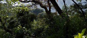 Direct Coffee Kaffee wächst mitten im Wald
