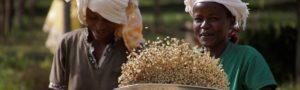 Nach dem Entfernen des Fruchtfleischs werden die Kaffeebohnen noch einmal selektiert