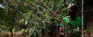Kaffeebauer erntet die roten Kaffeekirschen