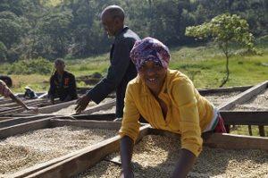 Die Kaffeebohnen trocknen auf den Trockenbetten der Kooperative