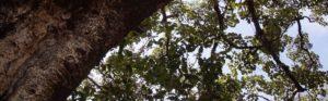 Riesige alte Bäume spenden dem Kaffee den nötigen Schatten