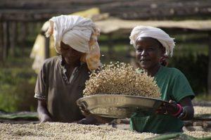 Die Selektion der Kaffeebohnen nach der Verarbeitung in der Nassmühle findet auf den Trockenbetten statt