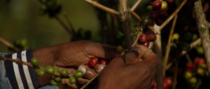Kaffeebauer in Äthiopien pflückt nur die reifen Kaffeekirschen