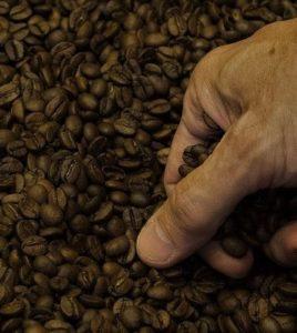 Frisch geröstete Kaffeebohnen werden vom Röstmeister geprüft