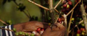 Die Kaffeekirschen werden per Hand gepflückt